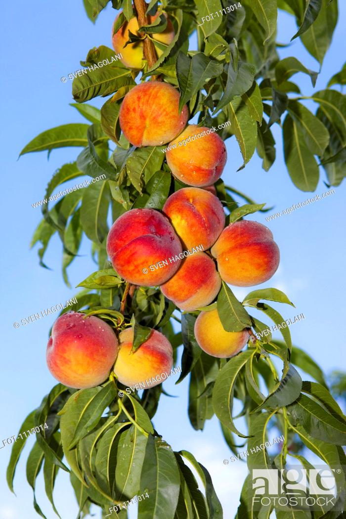 Stock Photo: Peaches growing on a tree.