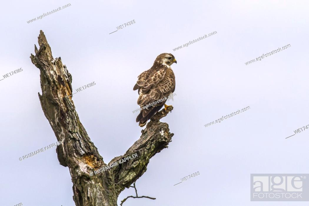 Stock Photo: A common buzzard in flight over homburg in saarland.