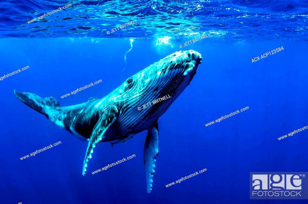Stock Photo: Juvenile Humpback whale, Megaptera novaeangliae, approximately five miles offshore, Moorea, Tahiti.