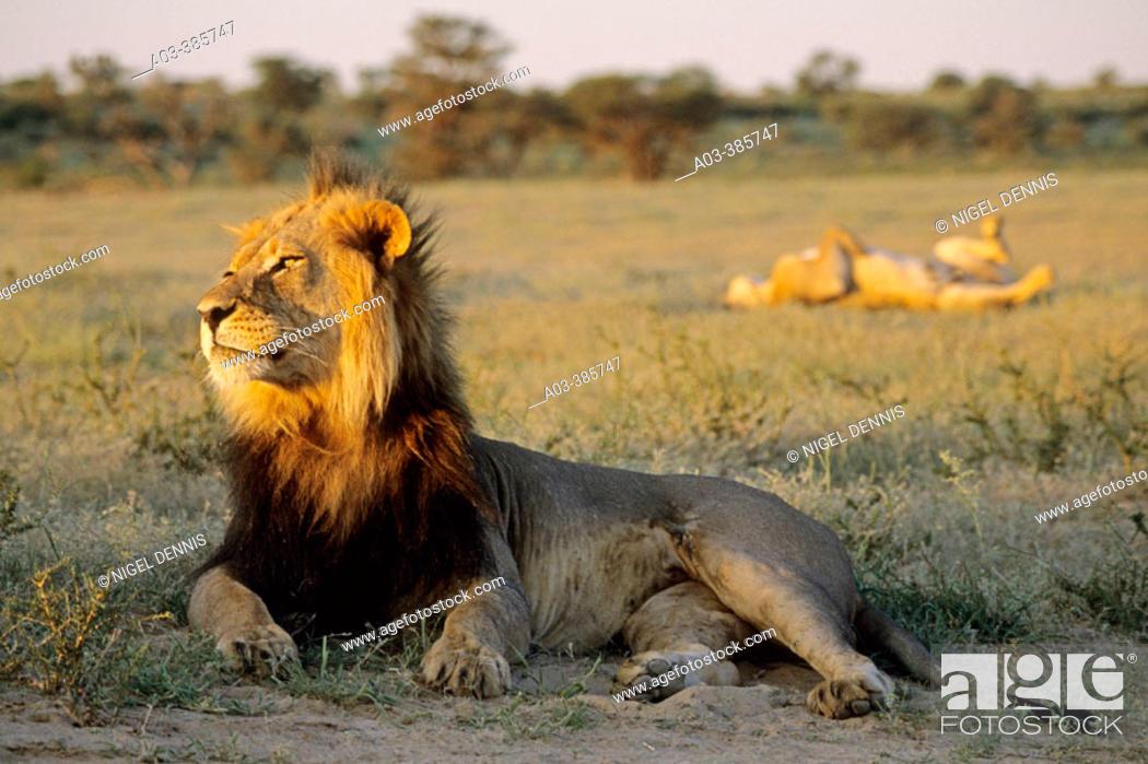 Stock Photo: Lion and Lioness (Panthera leo). Kgalagadi Transfrontier Park. Kalahari, South Africa.