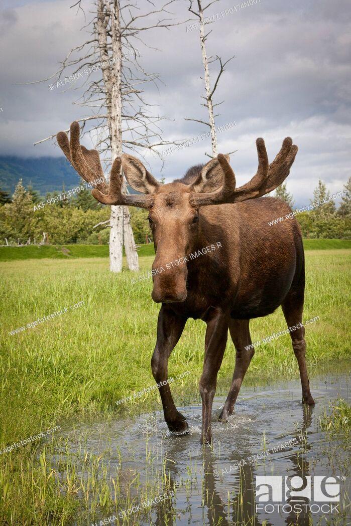 Stock Photo: CAPTIVE: Bull moose with its antlers in velvet walks thru water, Alaska Wildlife Conservation Center, Southcentral Alaska, Spring.