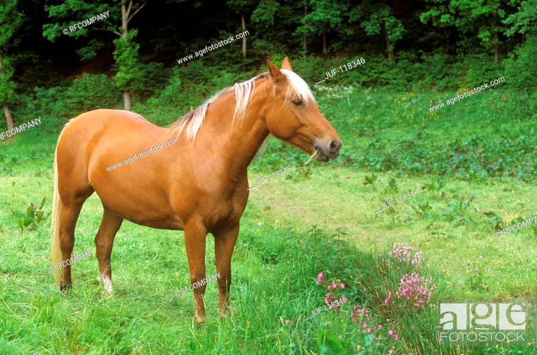Stock Photo: Finnhorse - standing on meadow.