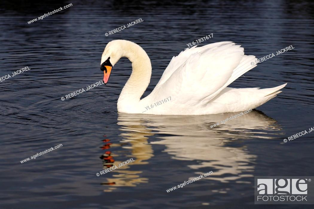 Stock Photo: Mute swan in Round Pond, Kensington Gardens, London.