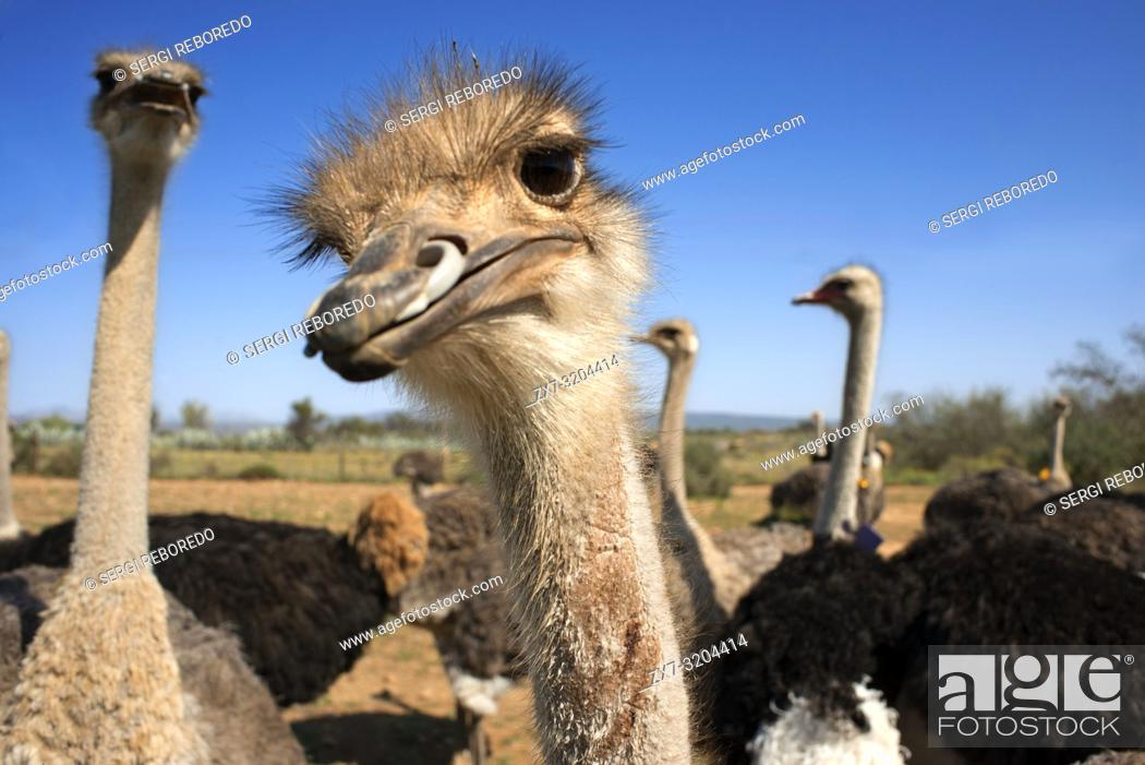 Stock Photo: Safari ostrich show farm Oudtshoorn, Little Karoo, South Africa, Africa.