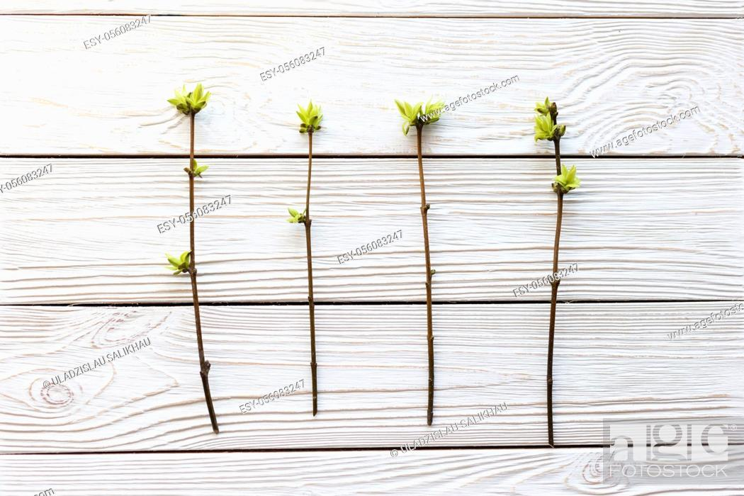 Stock Photo: Several spring twigs with blossoming leaves on a white wooden background.