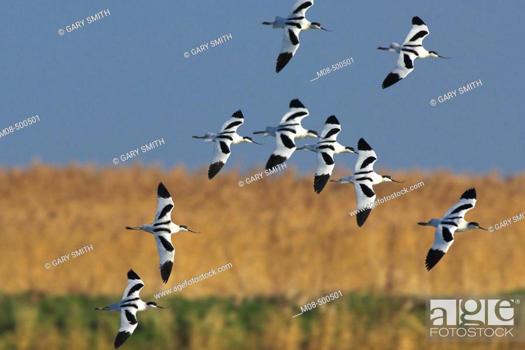 Stock Photo: Avocets (Recurvirostra avosetta) small group of over wintering birds in flight over coastal scrape, Norfolk, January.