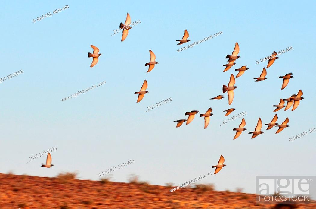 Stock Photo: A group of European Turtle Dove fly over desert sky.