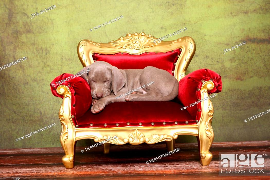 Stock Photo: Weimaraner Puppy.