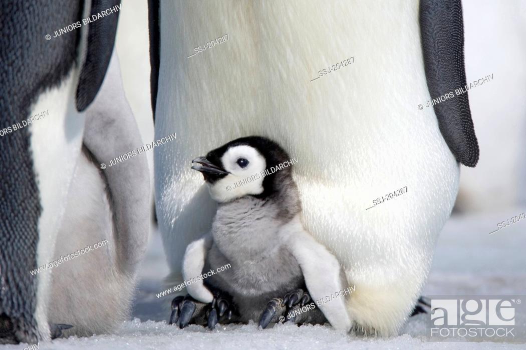 Stock Photo: Emperor Penguin (Aptenodytes forsteri). Chicks on the feet of parent birds. Snow Hill Island, Antarctica.