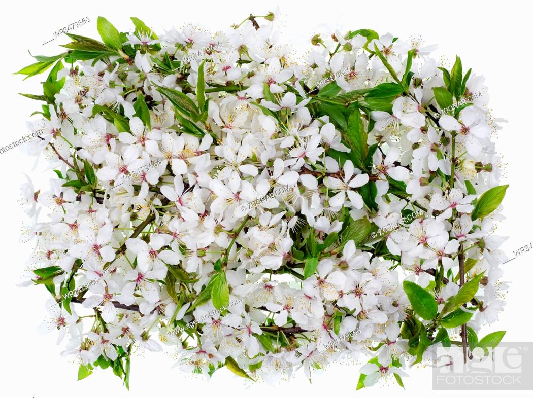 Stock Photo: The medallion - banner - made of white flowers of spring wild plum tree. Isolated on white.