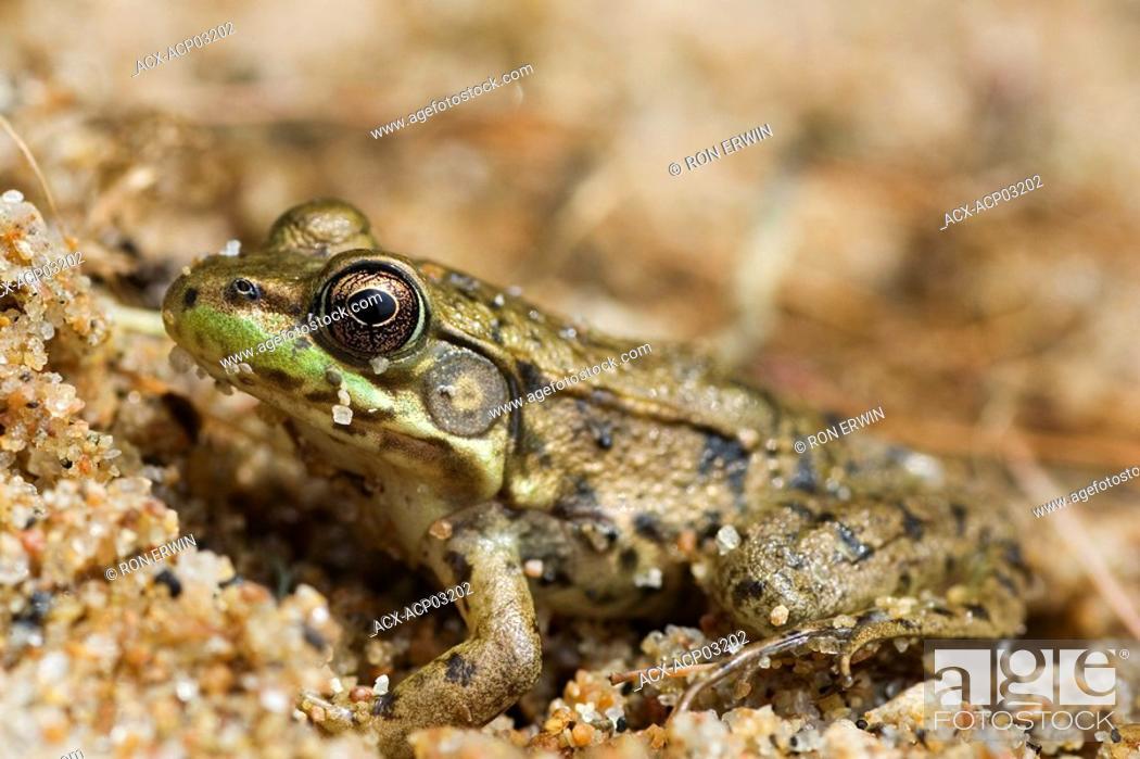 Stock Photo: Mink Frog Rana septentrionalis, Skootamata Lake, Ontario, Canada.