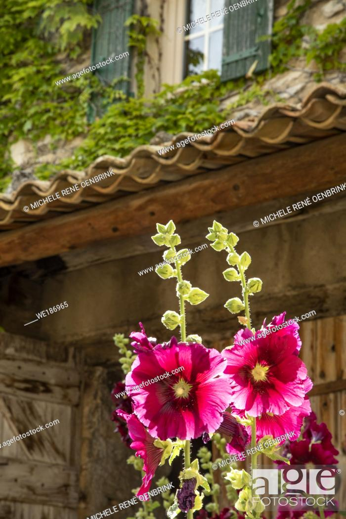 Stock Photo: Hollyhocks flowers blooming in Provence region of Southern France.