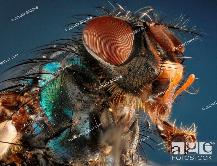 Stock Photo: Extreme closeup of the head of a greenbottle Lucilla sp showing the extended mouthparts and structure of the compound eyes.