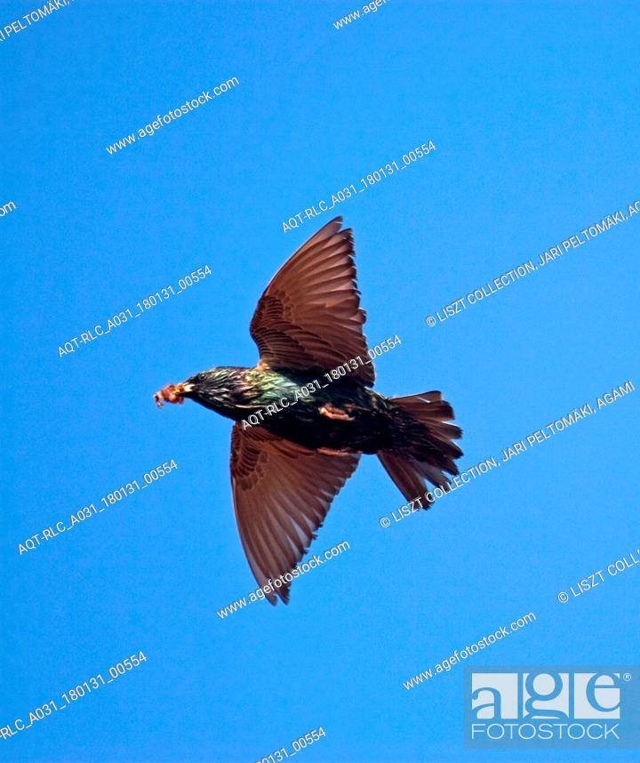 Stock Photo: Common Starling with food in flight, Common Starling, Sturnus vulgaris.