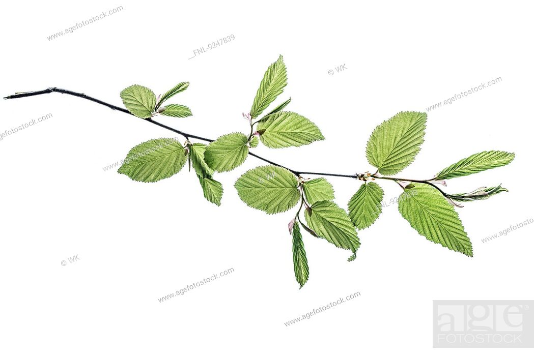 Stock Photo: Twig with beech leaves.