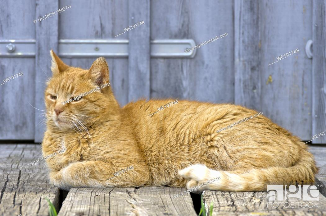Stock Photo: Sleepy red-haired domestic cat.