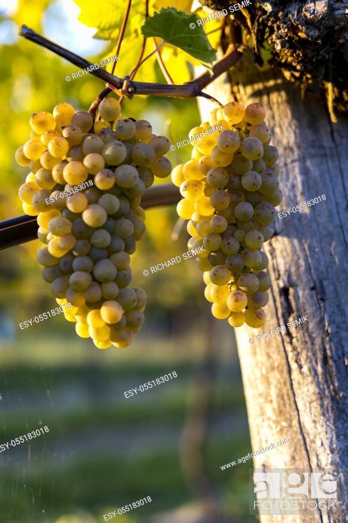 Stock Photo: wine region Wachau at wine harvest time in Austria.