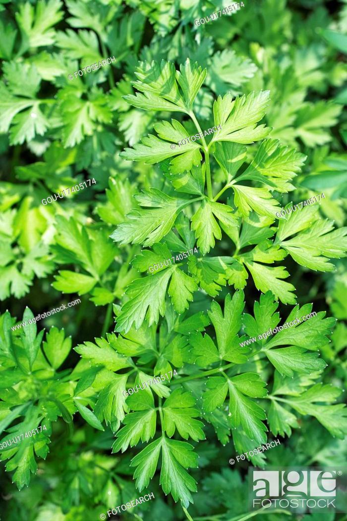 Stock Photo: Italian parsley.