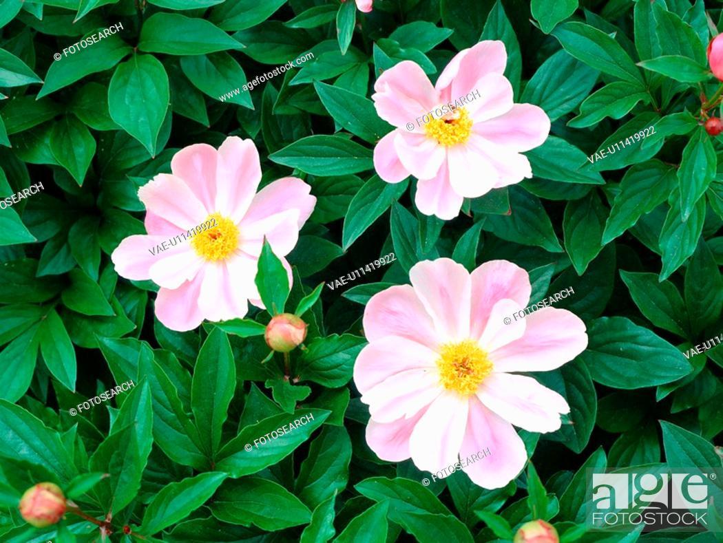 Stock Photo: plants, nature, peony, flower, plant, film.