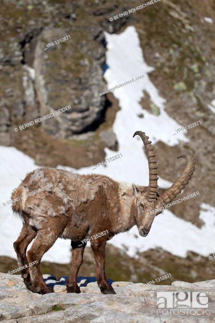 Stock Photo: male Alpine Ibex Capra ibex standing on rock in alpine landscape, Niederhorn, Bernese Oberland, Switzerland.