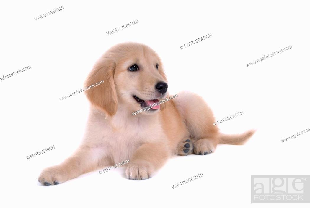 Stock Photo: looking away, animal, domestic animal, golden retriever, dog, close up, pet.