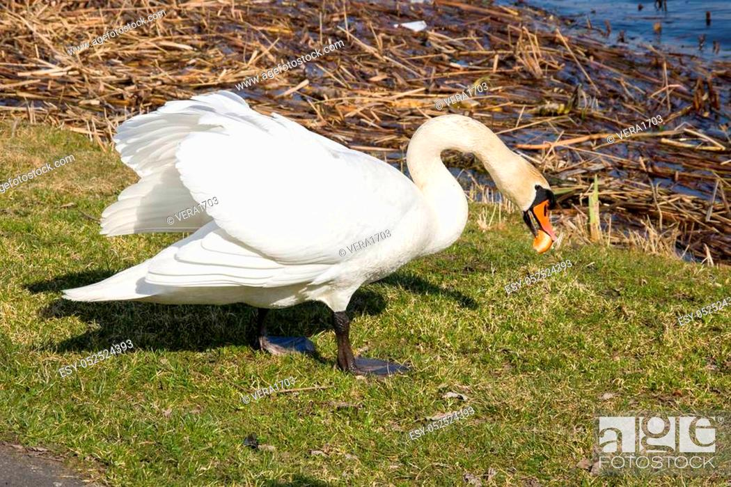 Stock Photo: White swan on the river bank eating a roll closeup.