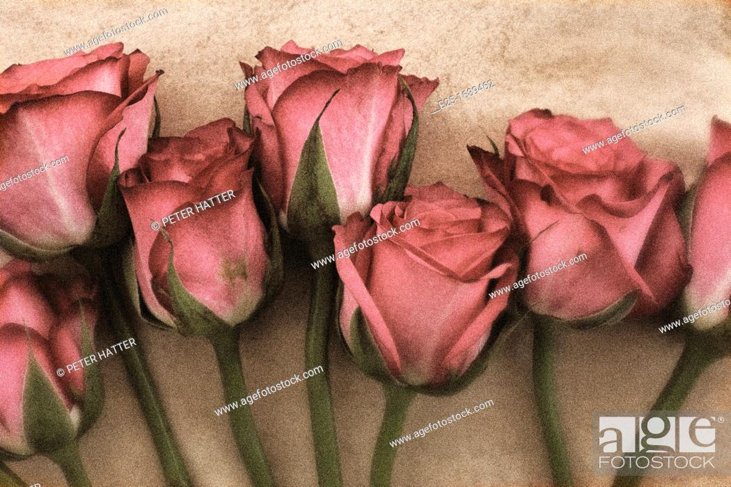Stock Photo: Seven pink roses in a line close up.