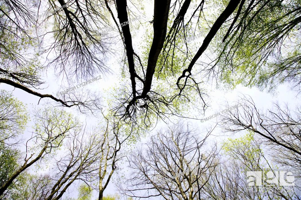 Stock Photo: Canopy of broad-leave Forest in Spring, Osa Valley, Kujawy.