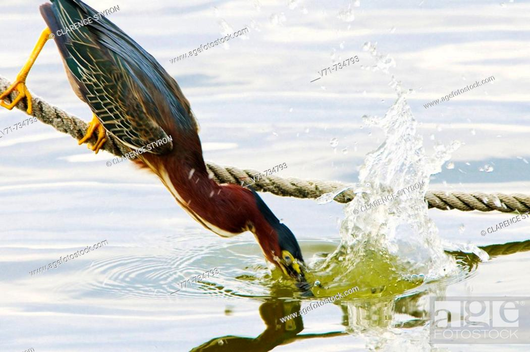 Stock Photo: Green-backed Heron, Butorides striatus, fishing.