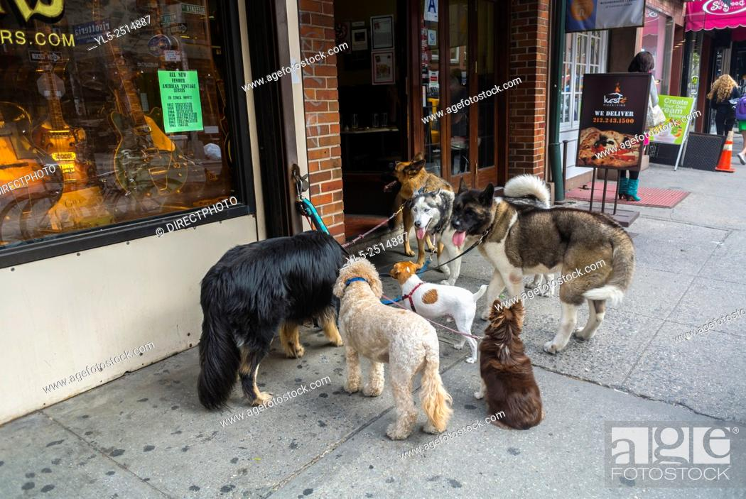 Stock Photo: New York City, USA, Group Dogs on Leashes, Being Walked by Walker, Waiting Outside Store, Bleecker Street, Shopping Street Scenes, Greenwich Village, Summer.
