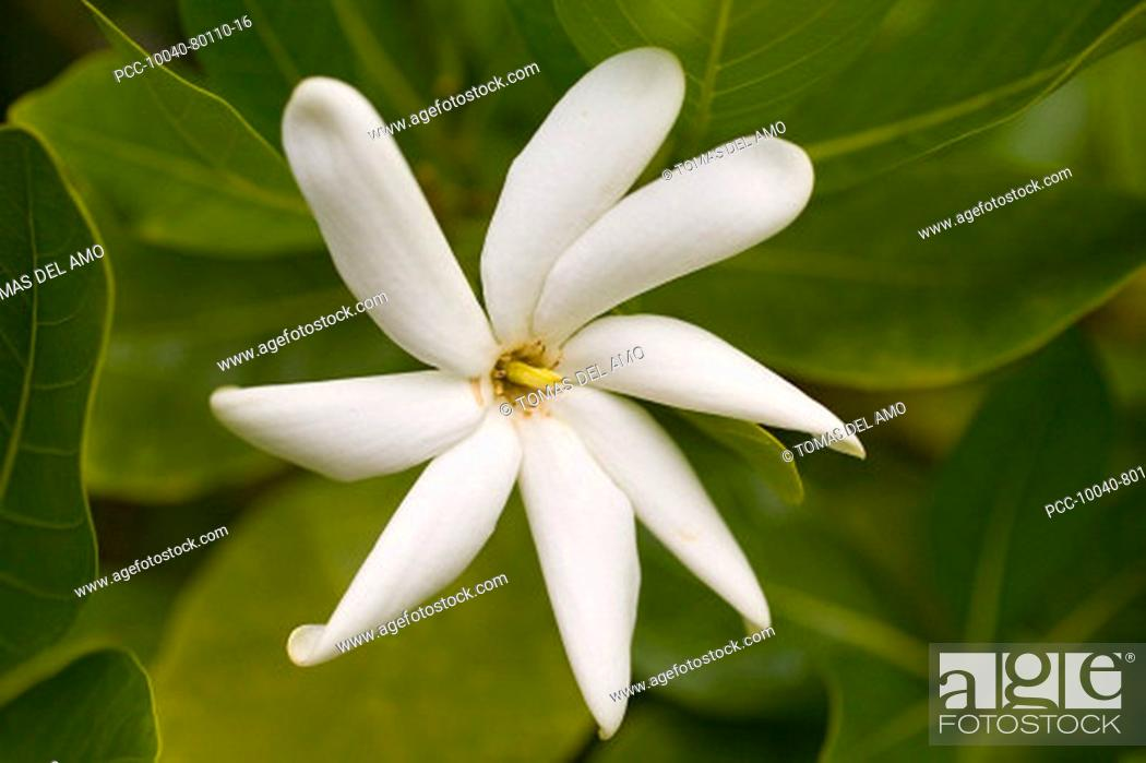 Stock Photo: White gardenia close-up amongst green leaves.