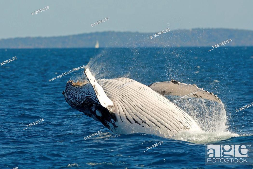 Imagen: Humpback Whale (Megaptera novaeangliae) breaching.