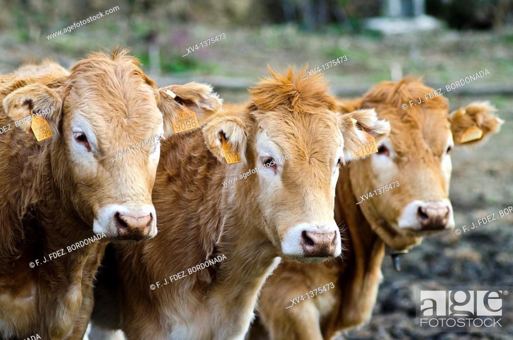 Stock Photo: Livestock in Erro Valley, Navarre, Spain.