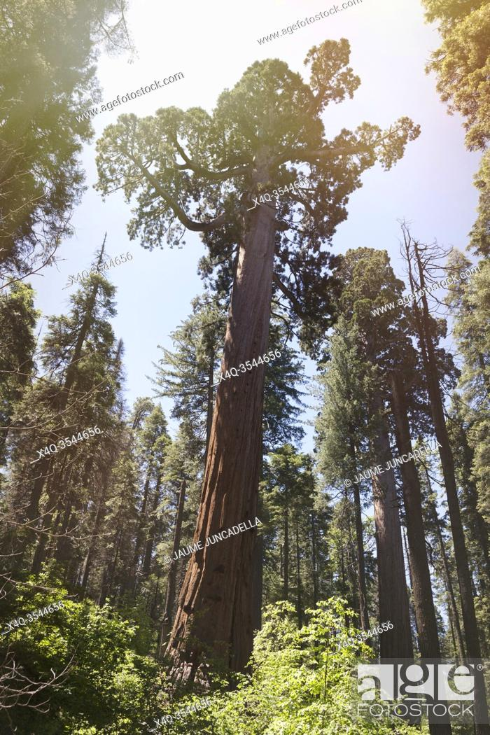 Stock Photo: Sunlight flares over the Sequoia in the Big tree park natural. Arnold, California, USA.