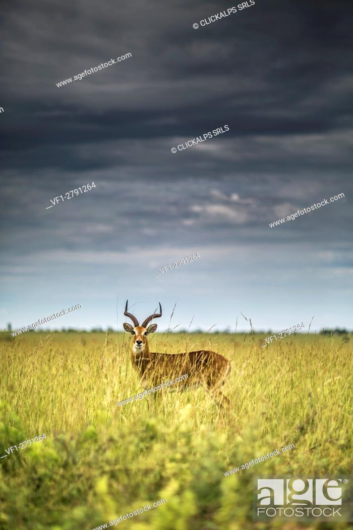 Stock Photo: Ugandan Kob in high grass, Murchison's Falls National Park, Uganda.