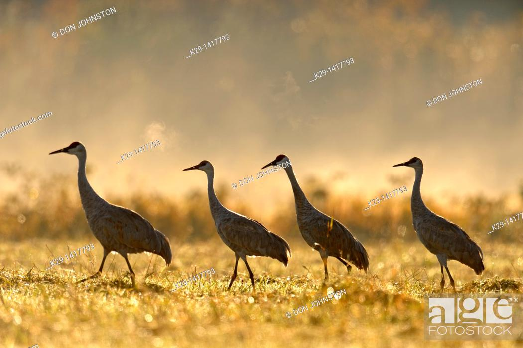 Stock Photo: Sandhill crane Grus canadensis Migratory flock feeding in hayfield Mindemoya Manitoulin Island.