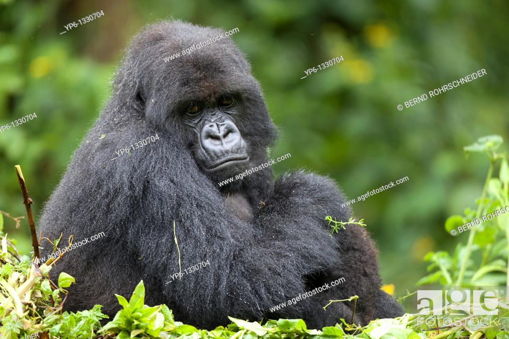 Stock Photo: Mountain Gorilla, Gorilla beringei beringei, female sitting in vegetation, Volcanoes National Park, Rwanda.