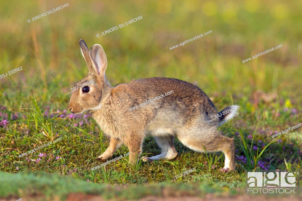 Stock Photo: European Rabbit (Oryctolagus cuniculus). Young on a meadow. Sweden.