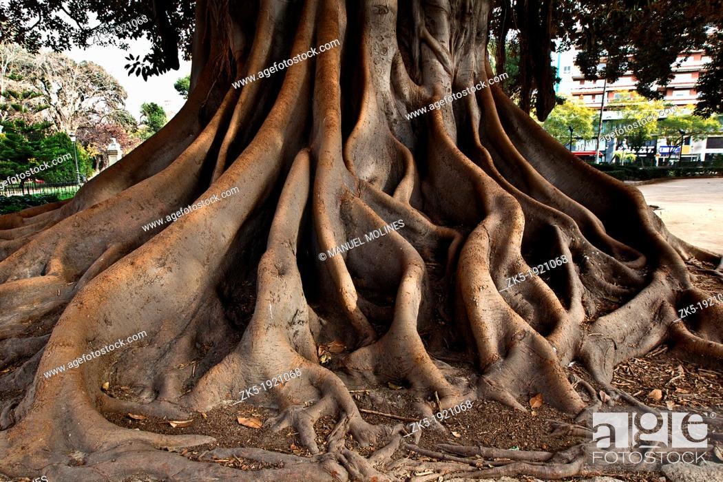 Stock Photo: Roots of Ficus Ficus Macrophylla.