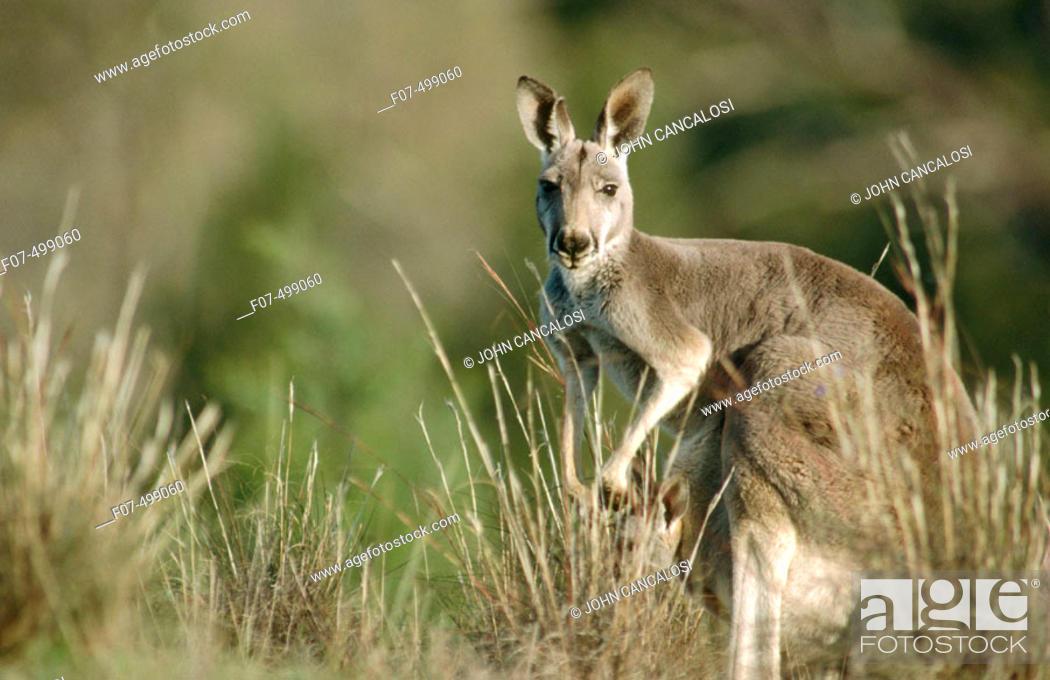 Stock Photo: Red Kangaroo (Macropus rufus). South Australia.