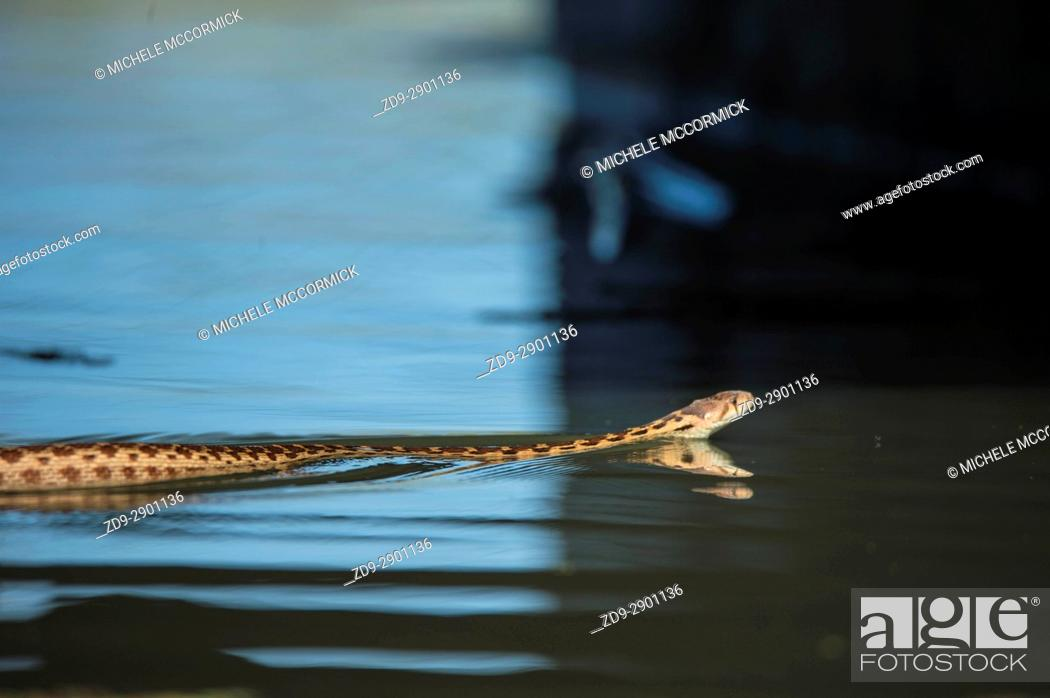 Stock Photo: A gopher snake swims in a Northern California stream.