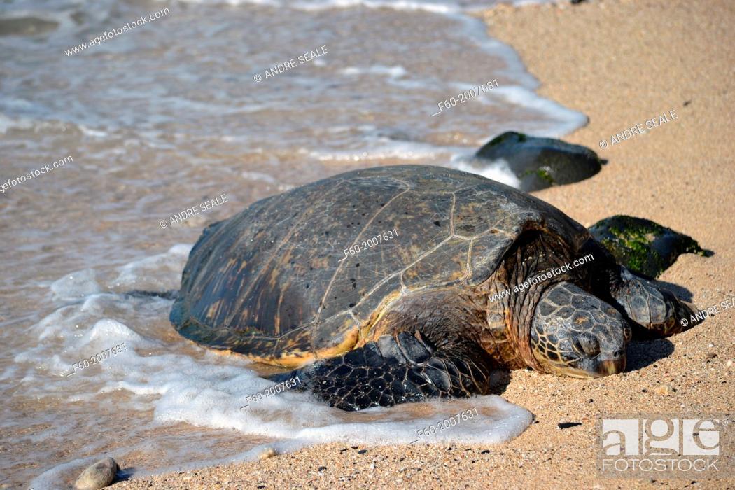 Stock Photo: Green sea turtle, Chelonia mydas, rests in the sand of Ho'okipa Beach, Maui, Hawaii, USA.