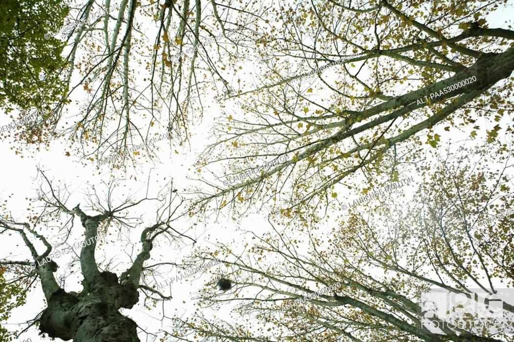 Stock Photo: Sparse tree canopy, low angle view.