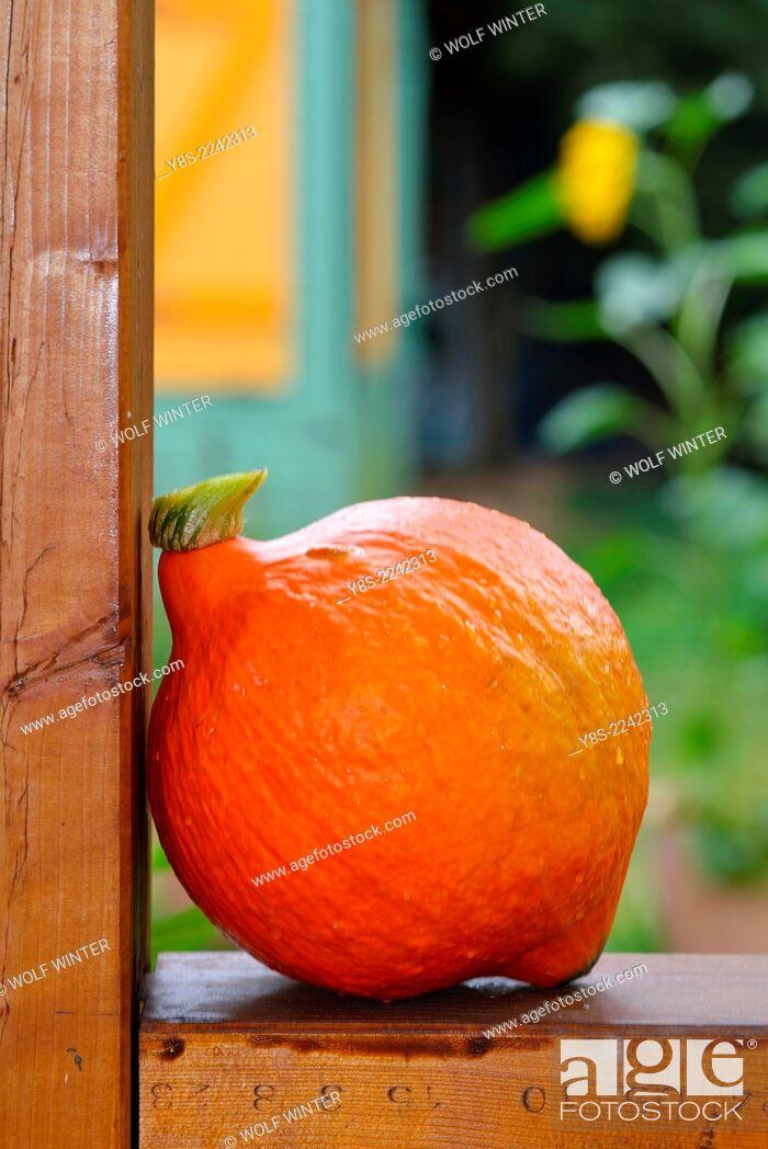 Stock Photo: Just harvested Hokkaido Pumpkin.