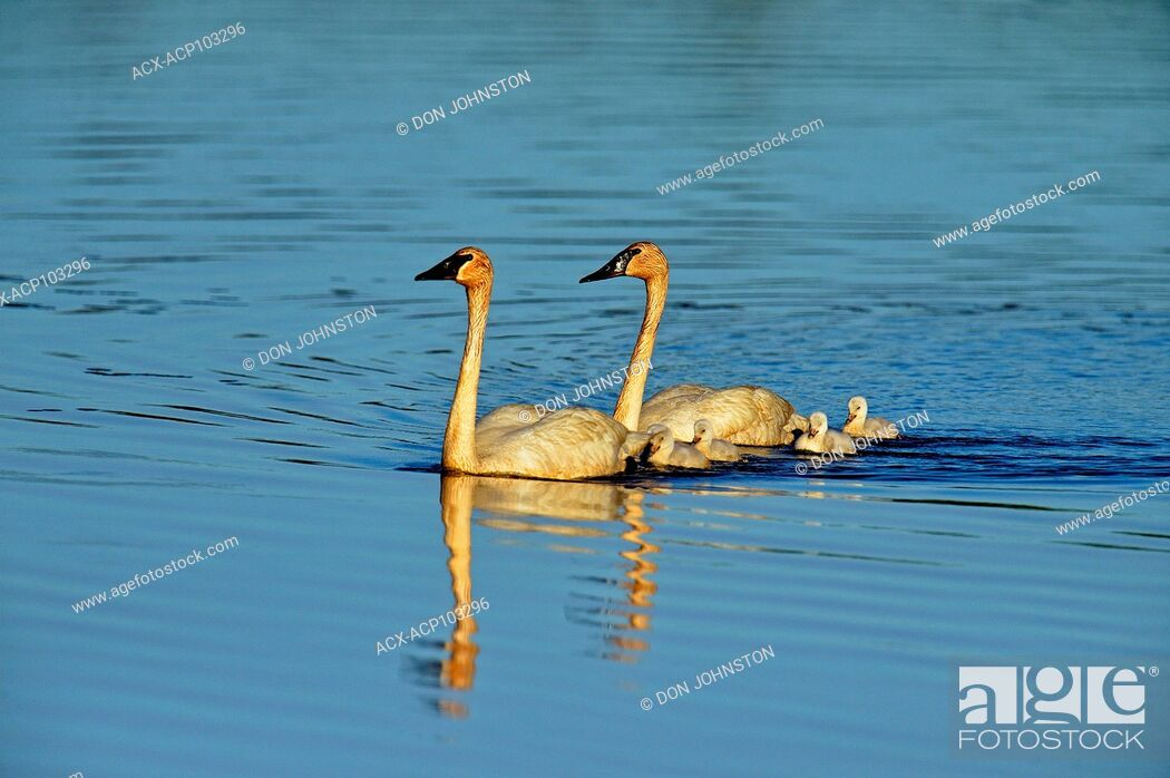 Stock Photo: Trumpeter swan (Cygnus buccinator) Adults swimming in pond with young, Seney NWR, Seney, Michigan, USA.