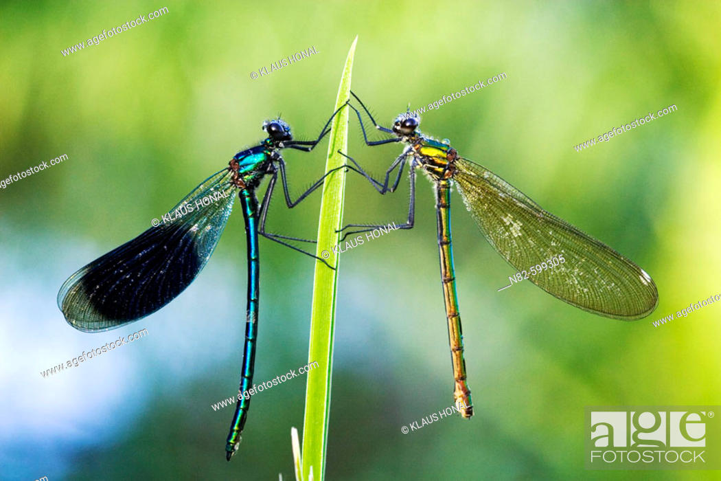 Stock Photo: Banded Demoisells (Calopteryx splendens) pair on plant in morning dew.