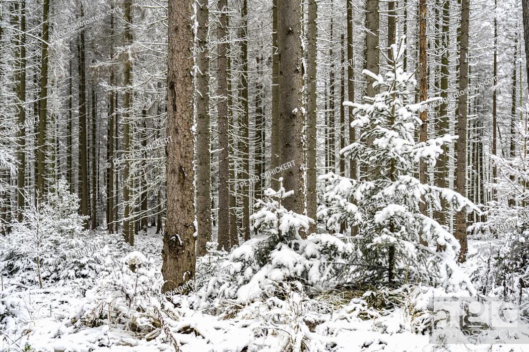 Stock Photo: Verschneiter Wald im Sauerland, Sundern, Hochsauerlandkreis, Nordrhein-Westfalen | Snowy forest in Sundern, Hochsauerland district, North Rhine-Westphalia.