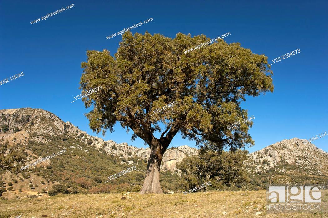 Photo de stock: Landscape with Holm oak (Quercus ilex), Natural Park Sierra de Grazalema, Cadiz-province, Region of Andalusia, Spain, Europe.