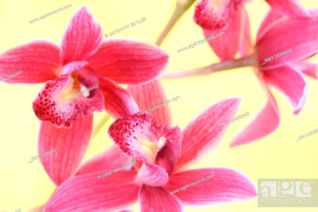 Stock Photo: pink cymbidium orchid highly decorative flower spikes - joyful energy.