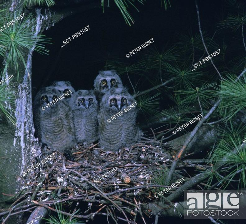 Stock Photo: Five fuzzy baby Long-eared Owls huddle together in their nest.